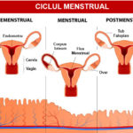 ciclul menstrual regulat