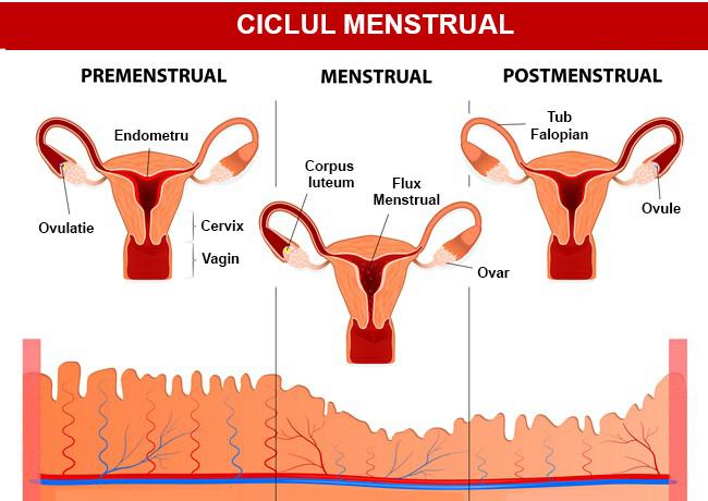 Totul despre ciclul menstrual regulat
